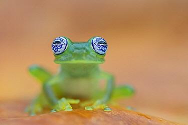 Limon Giant Glass Frog (Centrolenella ilex), Costa Rica  -  Ingo Arndt