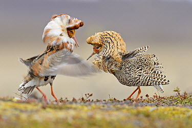 Ruff (Philomachus pugnax) males fighting at lek, Varanger Peninsula, Norway  -  Winfried Wisniewski