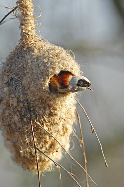 Eurasian Penduline-Tit (Remiz pendulinus) male looking out of nest, Biebrza National Park, Poland  -  Winfried Wisniewski