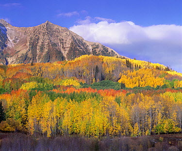 Quaking Aspen (Populus tremuloides) forest in autumn, Marcellina Mountain, Raggeds Wilderness, Colorado  -  Tim Fitzharris
