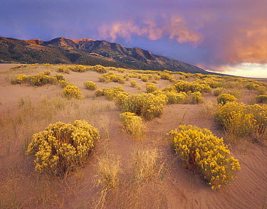 Sagewort (Artemisia sp) on sand dune, Sangre de Cristo Mountains, Great Sand Dunes National Monument, Colorado  -  Tim Fitzharris
