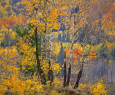 Quaking Aspen (Populus tremuloides) in autumn, White River National Forest, Colorado  -  Tim Fitzharris