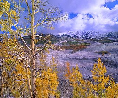 Quaking Aspen (Populus tremuloides) trees in autumn, Elk Mo untains, Colorado  -  Tim Fitzharris