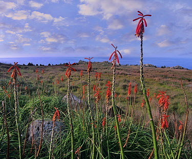 Torch Lily (Kniphofia sp) flowers, Salt Point State Park, California  -  Tim Fitzharris