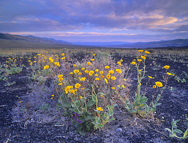 Desert Sunflower (Geraea canescens) flowers, Death Valley National Park, California  -  Tim Fitzharris