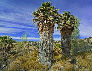 California Fan Palm (Washingtonia filifera) pair in oasis, Cottonwood Spring, Joshua Tree National Park, California  -  Tim Fitzharris