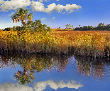 Cabbage Palm (Sabal sp) in wetland, Fakahatchee State Preserve, Florida  -  Tim Fitzharris