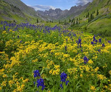 Larkspur (Delphinium sp) and Broom-like Ragwort (Senecio spartioides) at American Basin, Colorado  -  Tim Fitzharris
