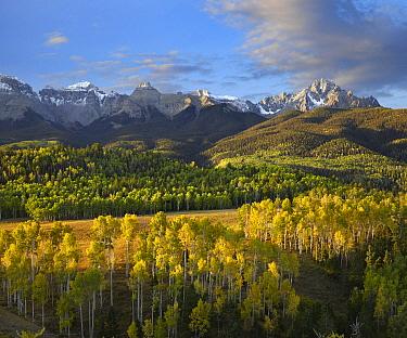 Quaking Aspen (Populus tremuloides) forest and Mount Sneffels, San Juan Mountains, Colorado  -  Tim Fitzharris