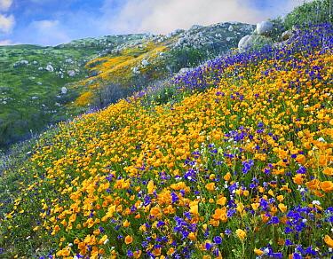 California Poppy (Eschscholzia californica) and Desert Bluebell (Phacelia campanularia) flowers, Canyon Hills, Santa Ana Mountains, California  -  Tim Fitzharris