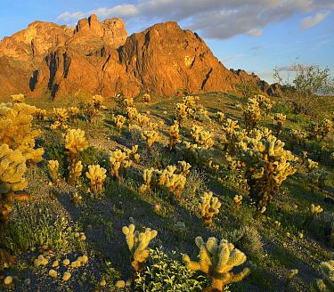 Teddy Bear Cholla (Cylindropuntia bigelovii) cacti in desert, Kofa Mountain, Kofa National Wildlife Refuge, Arizona  -  Tim Fitzharris