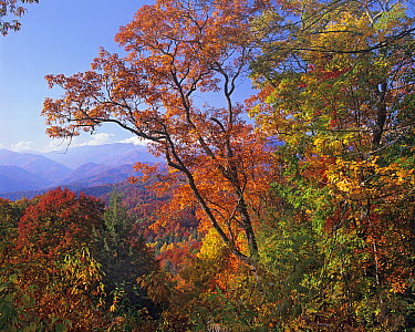 Deciduous forest in autumn, Blue Ridge Parkway, Great Smoky Mountains, North Carolina  -  Tim Fitzharris