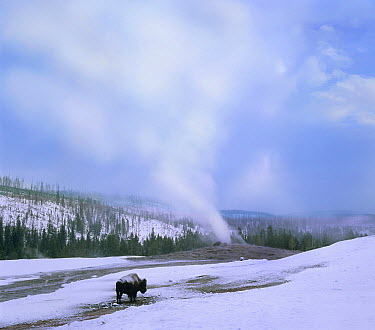 American Bison (Bison bison) near Old Faithful, Yellowstone National Park, Wyoming  -  Tim Fitzharris