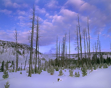 Coniferous forest succession years after fire, Yellowstone National Park, Wyoming  -  Tim Fitzharris