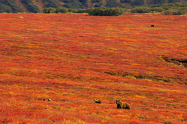 Brown Bear (Ursus arctos) mother and cub in tundra, Kamchatka, Russia  -  Sergey Gorshkov