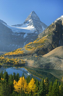 Larch (Larix sp) trees in autumn below Mount Assiniboine with Sunburst Lake, Mount Assiniboine Provincial Park, British Columbia, Canada  -  Kevin Schafer