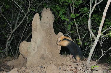 Southern Anteater (Tamandua tetradactyla) foraging at termite mound, Pantanal, Brazil  -  Kevin Schafer