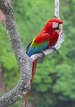 Red and Green Macaw (Ara chloroptera), Buraco das Araras, Mato Grosso do Sul, Pantanal, Brazil  -  Kevin Schafer
