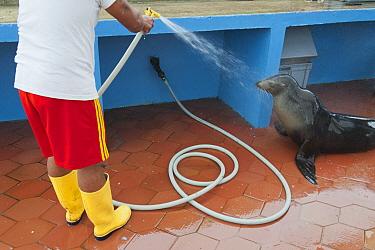 Galapagos Sea Lion (Zalophus wollebaeki) sprayed with water by fisherman, Puerto Ayora, Santa Cruz Island, Galapagos Islands, Ecuador  -  Kevin Schafer