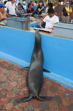 Galapagos Sea Lion (Zalophus wollebaeki) begging at fish market, Puerto Ayora, Santa Cruz Island, Galapagos Islands, Ecuador  -  Kevin Schafer