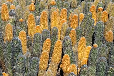 Lava Cactus (Brachycereus nesioticus), Fernandina Island, Galapagos Islands, Ecuador  -  Kevin Schafer