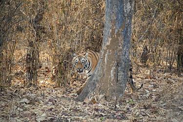 Bengal Tiger (Panthera tigris tigris) camouflaged in forest, Tadoba Andheri Tiger Reserve, India  -  Suzi Eszterhas