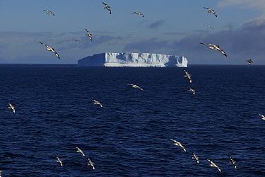 Pintado Petrel (Daption capense) flock flying, Antarctic Sound, Antarctica  -  Hiroya Minakuchi