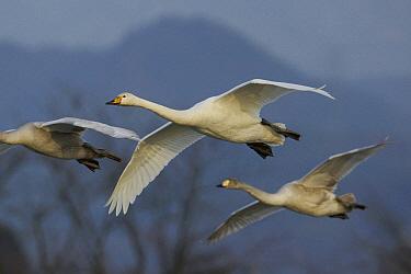 Whooper Swan (Cygnus cygnus) trio flying, Lake Hyo, Japan  -  Hiroya Minakuchi