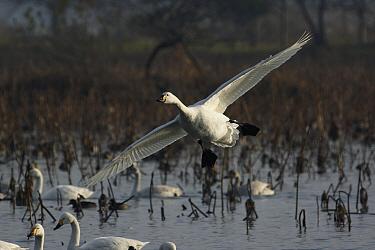 Whooper Swan (Cygnus cygnus) landing, Lake Hyo, Japan  -  Hiroya Minakuchi