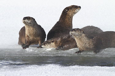 North American River Otter (Lontra canadensis) family on frozen river, Yellowstone National Park, Wyoming  -  Sumio Harada