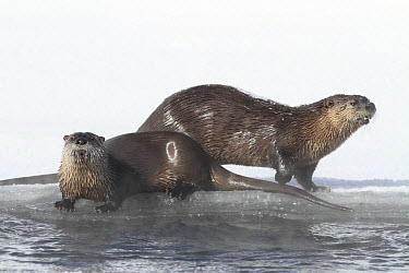 North American River Otter (Lontra canadensis) pair on frozen river, Yellowstone National Park, Wyoming  -  Sumio Harada