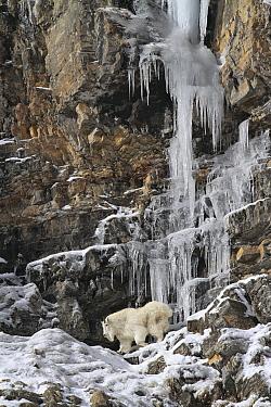 Mountain Goat (Oreamnos americanus) on cliff near frozen waterfall, Glacier National Park, Montana  -  Sumio Harada