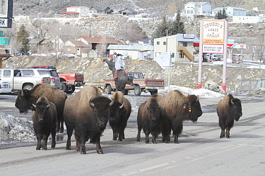 American Bison (Bison bison) herd on road in Gardiner just outside of Yellowstone National Park, Montana  -  Sumio Harada