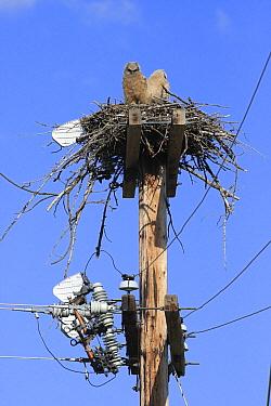 Great Horned Owl (Bubo virginianus) chicks in nest on power pole, Montana  -  Sumio Harada