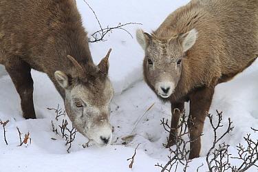 Bighorn Sheep (Ovis canadensis) ewe and lamb grazing in snow, Glacier National Park, Montana  -  Sumio Harada