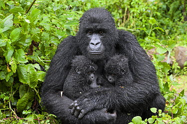 Mountain Gorilla (Gorilla gorilla beringei) mother holding five month old twin babies, Parc National des Volcans, Rwanda  -  Suzi Eszterhas