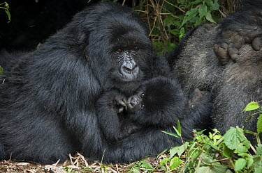 Mountain Gorilla (Gorilla gorilla beringei) mother and one and a half year old baby, Parc National des Volcans, Rwanda  -  Suzi Eszterhas