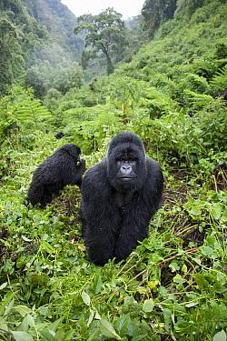 Mountain Gorilla (Gorilla gorilla beringei) silverback and young, Parc National des Volcans, Rwanda  -  Suzi Eszterhas