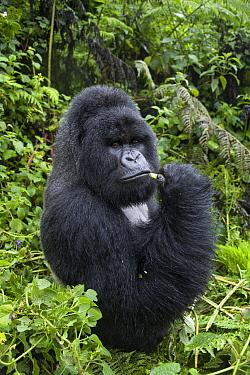 Mountain Gorilla (Gorilla gorilla beringei) silverback feeding, Parc National des Volcans, Rwanda  -  Suzi Eszterhas