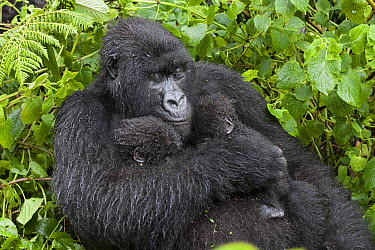 Mountain Gorilla (Gorilla gorilla beringei)resting mother holding five month old twin babies, Parc National des Volcans, Rwanda  -  Suzi Eszterhas