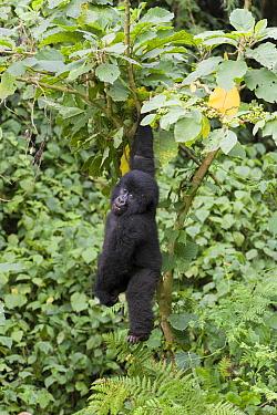 Mountain Gorilla (Gorilla gorilla beringei) juvenile playfully hanging from tree, Parc National des Volcans, Rwanda  -  Suzi Eszterhas