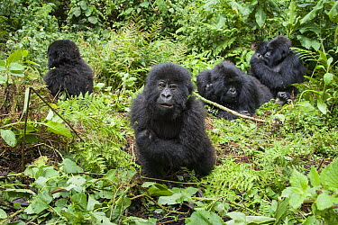 Mountain Gorilla (Gorilla gorilla beringei) two year old baby and family, Parc National des Volcans, Rwanda  -  Suzi Eszterhas