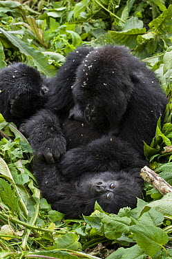 Mountain Gorilla (Gorilla gorilla beringei) mother grooming her two year old baby, Parc National des Volcans, Rwanda  -  Suzi Eszterhas