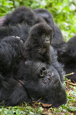 Mountain Gorilla (Gorilla gorilla beringei) one and a half year old baby playing on silverback, Parc National des Volcans, Rwanda  -  Suzi Eszterhas