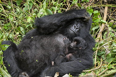 Mountain Gorilla (Gorilla gorilla beringei) mother holding three week old baby, Parc National des Volcans, Rwanda  -  Suzi Eszterhas