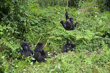 Mountain Gorilla (Gorilla gorilla beringei) juveniles playing on vines near family, Parc National des Volcans, Rwanda  -  Suzi Eszterhas