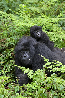 Mountain Gorilla (Gorilla gorilla beringei) mother with one and a half year old baby on back, Parc National des Volcans, Rwanda  -  Suzi Eszterhas