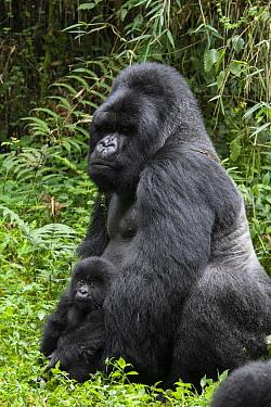 Mountain Gorilla (Gorilla gorilla beringei) silverback with one and a half year old baby, Parc National des Volcans, Rwanda  -  Suzi Eszterhas