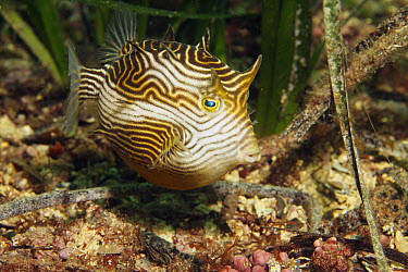 Ornate Cowfish (Aracana ornata) female, Edithburgh, South Australia, Australia  -  Norbert Wu