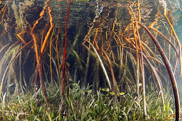 Mangrove (Rhizophoraceae) and Eelgrass (Zostera sp) provide shelter for young fish, Bahamas, Caribbean  -  Norbert Wu